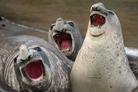 Deretan Ekpresi Lucu Binatang Yang Tertangkap Kamera - Ekpresi Singa Laut