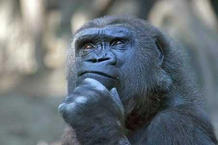 Deretan Ekpresi Lucu Binatang Yang Tertangkap Kamera - Gorilla