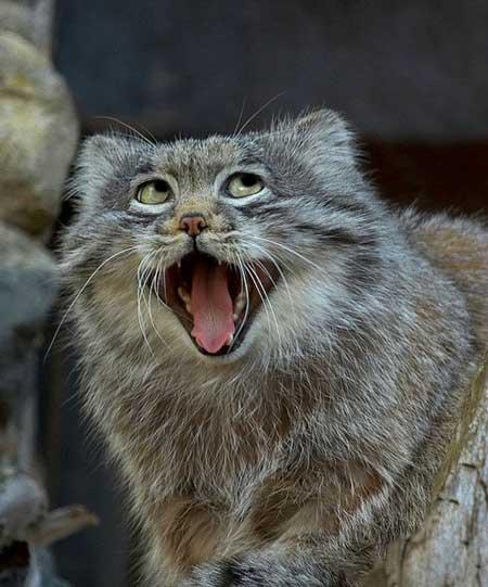 Deretan Ekpresi Lucu Binatang Yang Tertangkap Kamera - Kucing Abu