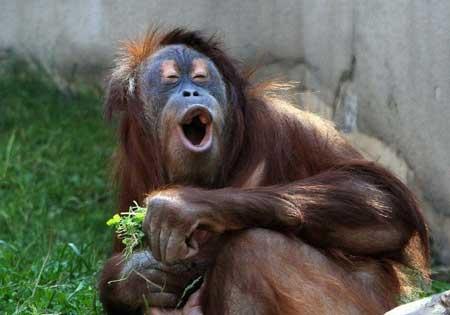 Deretan Ekpresi Lucu Binatang Yang Tertangkap Kamera - Orang Utan