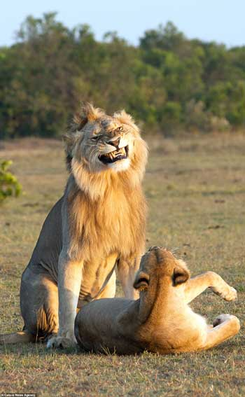 Deretan Ekpresi Lucu Binatang Yang Tertangkap Kamera - Singa Senyum