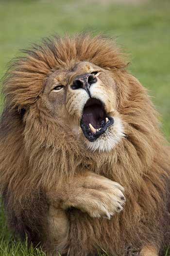 Deretan Ekpresi Lucu Binatang Yang Tertangkap Kamera - Singa