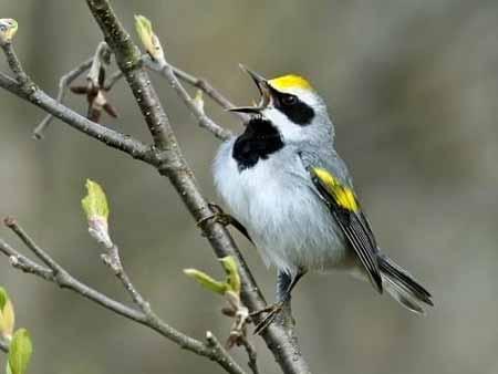 Deretan-Hewan-Yang-Mampu-Memprediksi-Terjadinya-Bencana-Burung-warblers-bersayap-emas