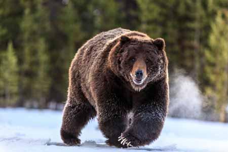 Deretan-Hewan-Yang-Mampu-Memprediksi-Terjadinya-Bencana-beruang-cokelat