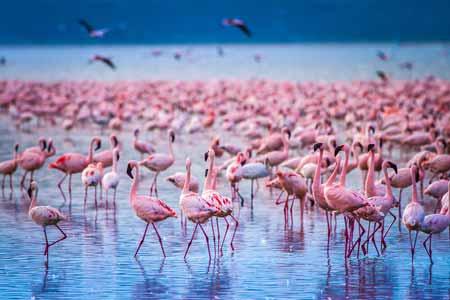 Deretan-Hewan-Yang-Mampu-Memprediksi-Terjadinya-Bencana-flaminggo