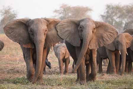 Deretan-Hewan-Yang-Mampu-Memprediksi-Terjadinya-Bencana-gajah