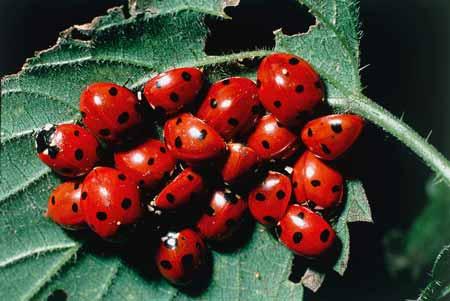 Deretan-Hewan-Yang-Mampu-Memprediksi-Terjadinya-Bencana-kumbang-ratu