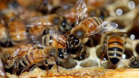 Deretan-Hewan-Yang-Mampu-Memprediksi-Terjadinya-Bencana-lebah