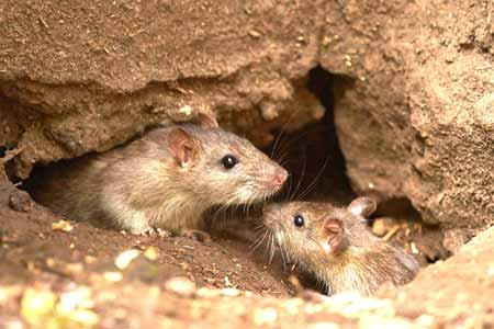 Deretan-Hewan-Yang-Mampu-Memprediksi-Terjadinya-Bencana-tikus