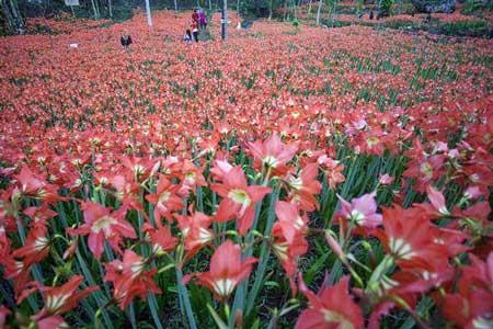 Taman Bunga Terindah Di Indonesia - Taman Bunga Amarilis Yogyakarta