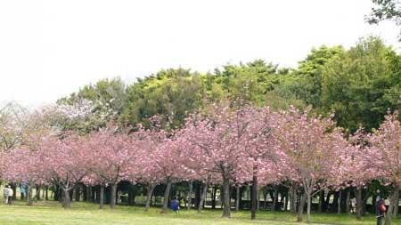 Taman Bunga Terindah Di Indonesia - Taman Bunga Sakura