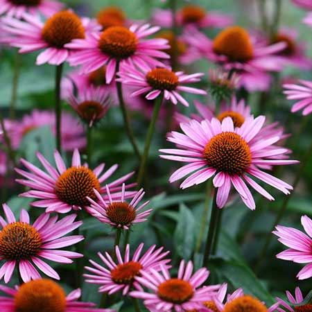 Tumbuhan Yang Mampu Meningkatkan Daya Tahan Tubuh - Echinacea