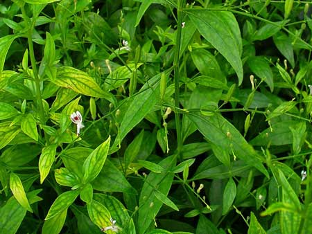 Tumbuhan Yang Mampu Meningkatkan Daya Tahan Tubuh - Sambiloto