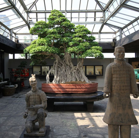 Bonsai-Ficus