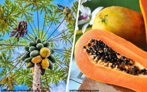 Bagian Dari Pohon Pepaya Yang Bisa Dikonsumsi Beserta Manfaatnya