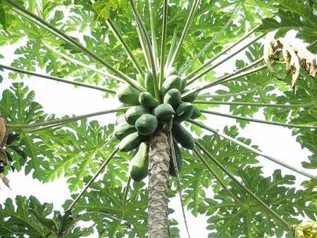 Bagian Dari Pohon Pepaya Yang Bisa Dikonsumsi Beserta Manfaatnya - Batang Pepaya