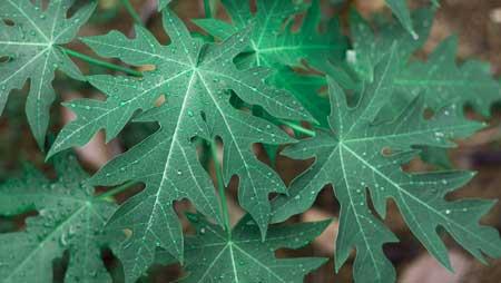 Bagian Dari Pohon Pepaya Yang Bisa Dikonsumsi Beserta Manfaatnya - Daun Pepaya