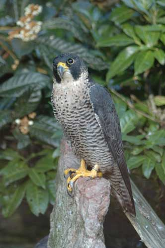 Binatang Tercepat Di Dunia - Burung Alap-alap Kawah