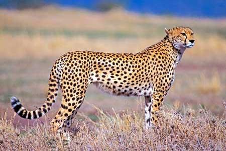 Binatang Tercepat Di Dunia - Citah