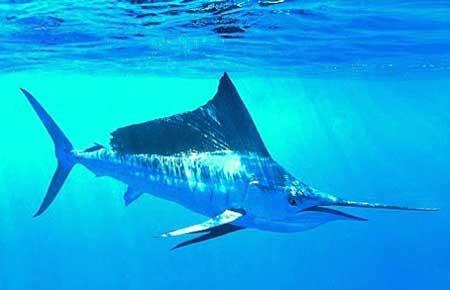 Binatang Tercepat Di Dunia - Ikan Layaran