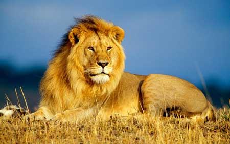 Binatang Tercepat Di Dunia - Singa