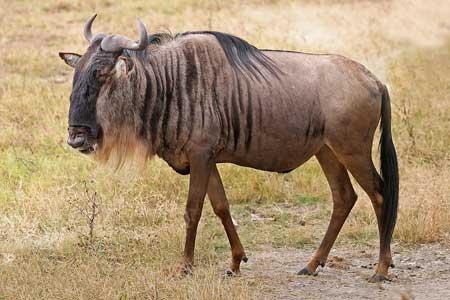Binatang Tercepat Di Dunia - Wildebeest