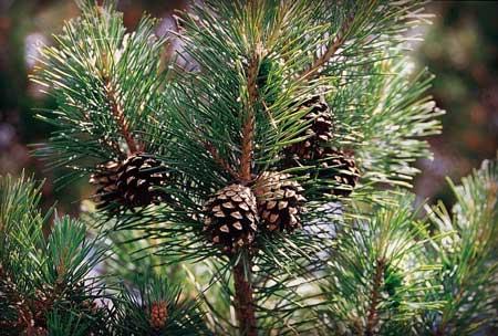 Aroma Yang Dapat Membuat Bahagia Dan Meredakan Stress - Pinus