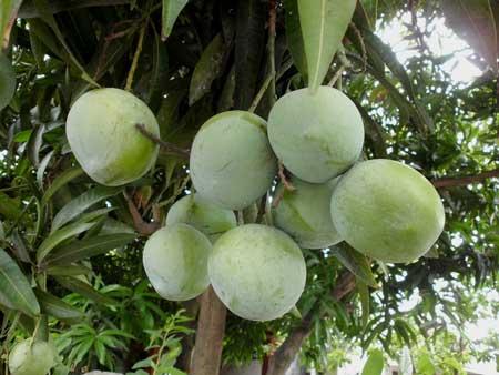 Jenis Buah Mangga Paling Enak Di Indonesia - Mangga Apel