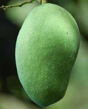 Jenis Buah Mangga Paling Enak Di Indonesia - Mangga Arumanis