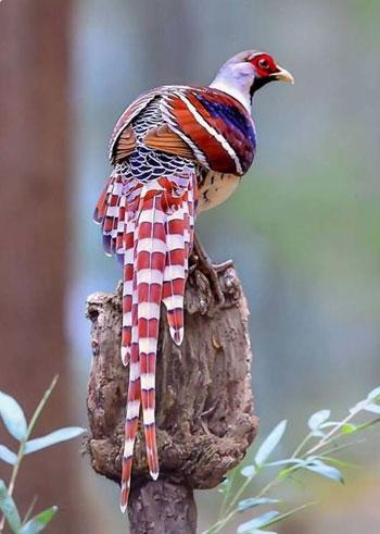 Jenis-jenis dan fakta ayam Pheasant - Elliot Pheasant