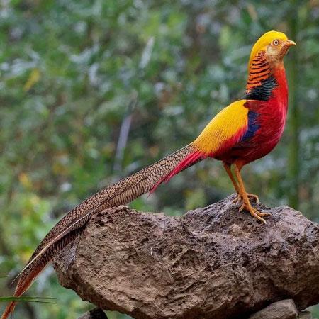 Jenis-jenis dan fakta ayam Pheasant - Golden Pheasant