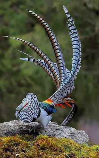 Jenis-jenis dan fakta ayam Pheasant - Lady Amherst Pheasant