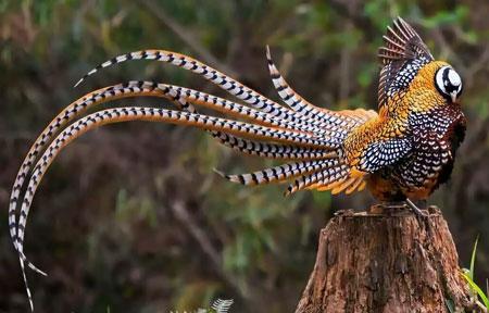 Jenis-jenis dan fakta ayam Pheasant - Reeves Pheasant