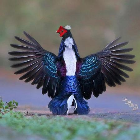 Jenis-jenis dan fakta ayam Pheasant - Swinhoe Pheasant