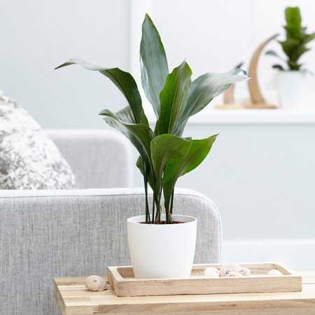 Tanaman Hias Indoor Yang Bagus Dan Mudah Dirawat - Tanaman Hias Besi Cor (Cast-Iron Plant)