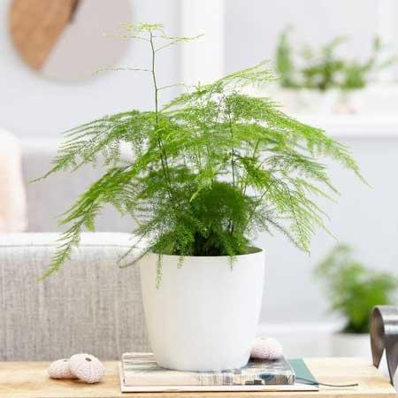 Tanaman Hias Indoor Yang Bagus Dan Mudah Dirawat - Tanaman Hias Daun Asparagus