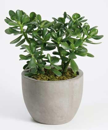 Tanaman Hias Indoor Yang Bagus Dan Mudah Dirawat - Tanaman Hias Jade Plant