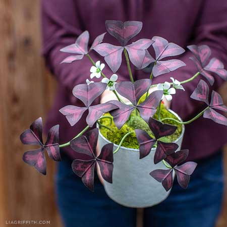 Tanaman Hias Indoor Yang Bagus Dan Mudah Dirawat - Tanaman Hias Kupu-kupu (Oxalis Plant)