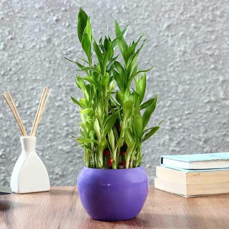 Tanaman Hias Indoor Yang Bagus Dan Mudah Dirawat - Tanaman Hias Lucky Bamboo