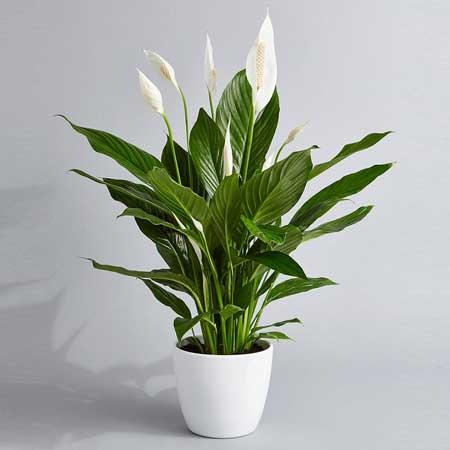 Tanaman Hias Indoor Yang Bagus Dan Mudah Dirawat - Tanaman Hias Peace Lily