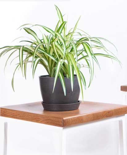 Tanaman Hias Indoor Yang Bagus Dan Mudah Dirawat - Tanaman Hias Spider Plant