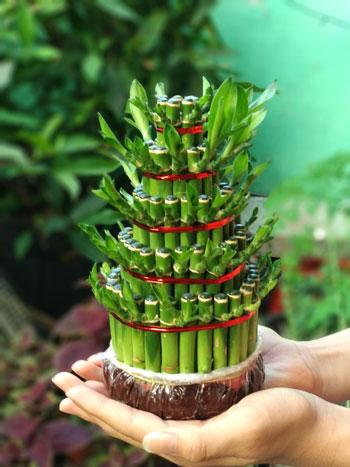 Berbagai Jenis Tanaman Pembawa Keberuntungan - Bambu Hoki (Bambusoideae)
