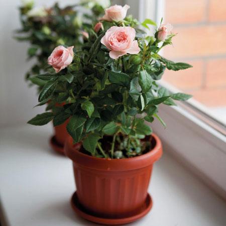 Berbagai Jenis Tanaman Pembawa Keberuntungan - Bunga Mawar