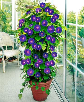 Berbagai Jenis Tanaman Pembawa Keberuntungan - Bunga Morning Glory