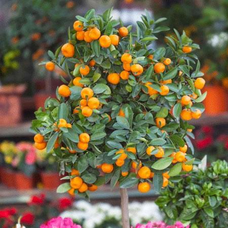 Berbagai Jenis Tanaman Pembawa Keberuntungan - Jeruk Emas/Jinju (Fortunella japonica)