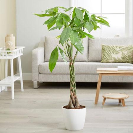 Berbagai Jenis Tanaman Pembawa Keberuntungan - Pohon Uang (Money Tree atau Pachira)