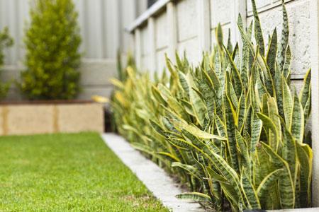 Berbagai Jenis Tanaman Pembawa Keberuntungan - Tanaman Lidah Mertua (Snake Plant/Sansevieria trifasciata)