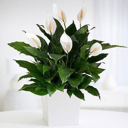 Berbagai Jenis Tanaman Pembawa Keberuntungan - Tanaman Peace Lily (Spatiphyllum)