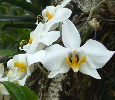 Bunga anggrek tercantik dan termahal - Anggrek Bulan Kalimantan Barat