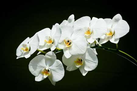Bunga anggrek tercantik dan termahal - Anggrek Bulan